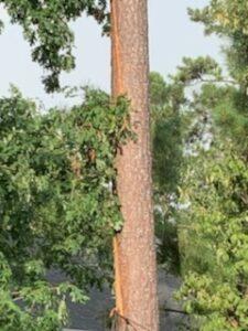 Pine with tree lightning damage.